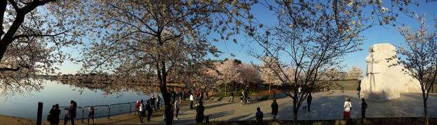 Panoramic view of the cherry blossoms from the Tidal Basin near the Martin Luther King Jr. Memorial.