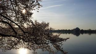 Panoramic view of the cherry blossoms and Jefferson Memorial.