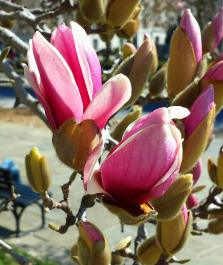 March 9: The magnolia bloom, Day 2, Rawlins Park, downtown Washington, D.C.