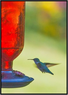 July 20: A hummingbird visited us in the late afternoon yesterday at our place in Bloomington, Minn.
