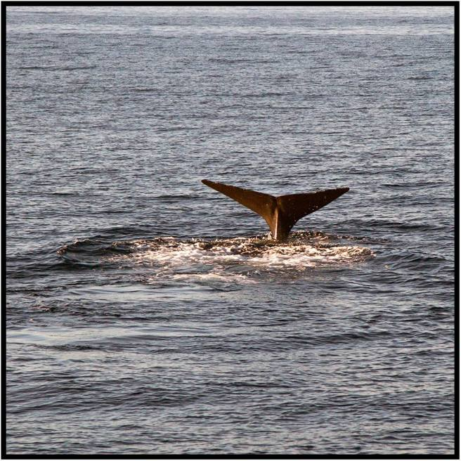 "November 28: A young sperm whale diving near sunset near the island of Dominica a few days ago. Experts rank Dominica as a world-class location to view whales. The animals live about 50 years, grow to nearly 70 feet in length, and are capable of diving more than 7,000 feet. Dorette and I last saw sperm whales in the nutrient-rich waters off New Zealand, where young males were said to migrate to ""beef up"" for several years, so to speak, before returning to their pods near Hawaii. I always feel excited and privileged to see one. Melville's ""Moby Dick"" is a favorite novel, so I sometimes give in and yell, ""Thar she blows!"""