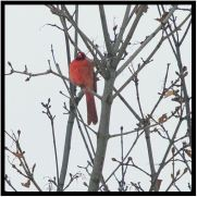 December 16: Guess whose song greeted us in our front yard shortly after we returned to Bloomington after a quick trip to Grand Forks, N.D.? A Northern Cardinal, many of which remain in Minnesota for the winter rather than fleeing south.