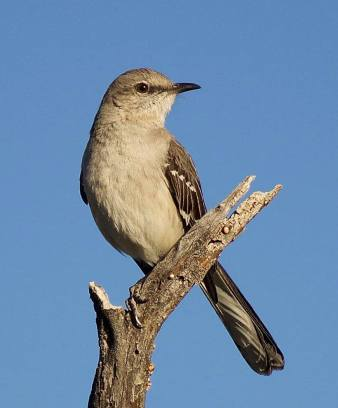 A posing mockingbird.