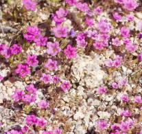 March 15: Desert blooms, Joshua Tree National Park, Calif.