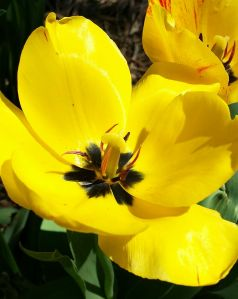 April 9: What is it about color yellow? Enjoying the last few days of tulips in the backyard.
