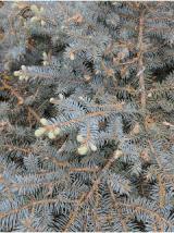 Globe Blue Spruce.