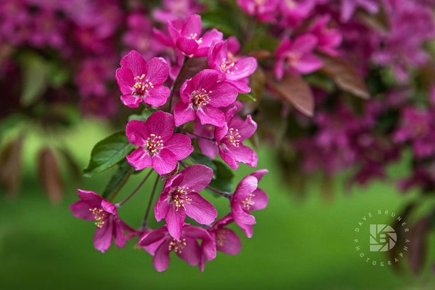 These are called Radiant crabapple blooms.