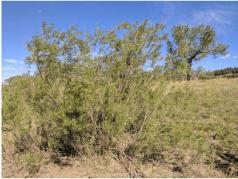 Sandbar willows on the banks of the Little Missouri River.