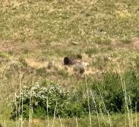 June 23: National Bison Range — Today's highlight of Kristi and my trip to Montana: a visit to the National Bison Range. This guy was taking a dust bath as we drove by. It's an iPhone pic. The National Bison Range has been crucial in preserving the pure genetic makeup of this great animal. Most of the remaining bison in the U.S. are now part cow.