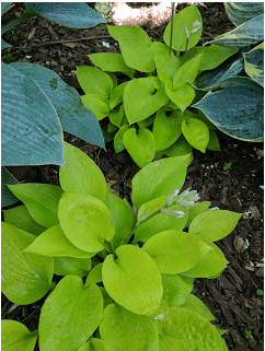 Golden Prayers Hosta.