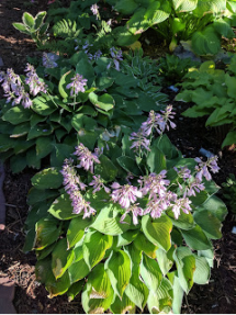 Blue Cadet Hosta.
