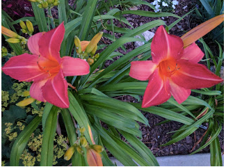 The first Wide Wide World daylily blooms of the season, taken in twilight.