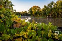 Green and turning yellow ground vines along the Red River just turning fall colors.