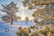 There was a sun halo in this sunrise photo surrounded by these frosted pine trees.