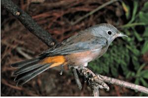 Colima warbler.