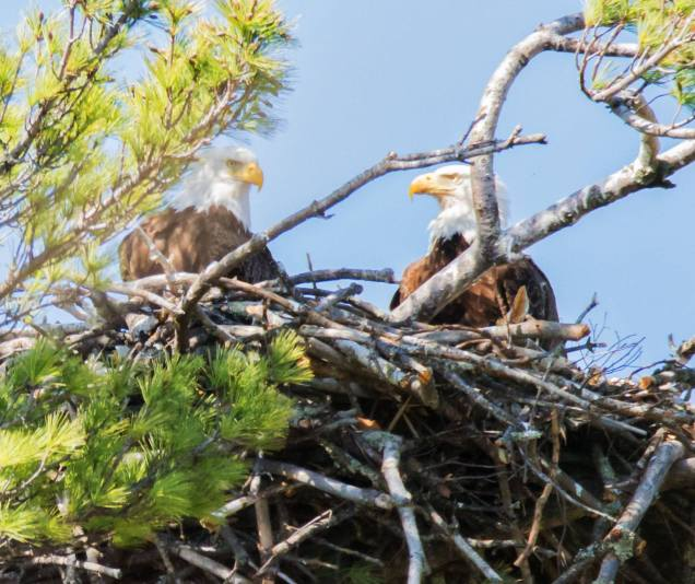 The female looks proudly at the nest protector.