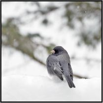 """April 15: This dark-eyed junco, like most of us today in snow-laden Bloomington, Minn., having a """"WTF?"""" moment and in its case wishing he'd delayed his arrival in our yard for a couple of weeks."""