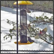 April 11: Action like this at our feeder in Bloomington, Minn., often occurs before a negative change in the weather. I wonder if these guys know something we don't?