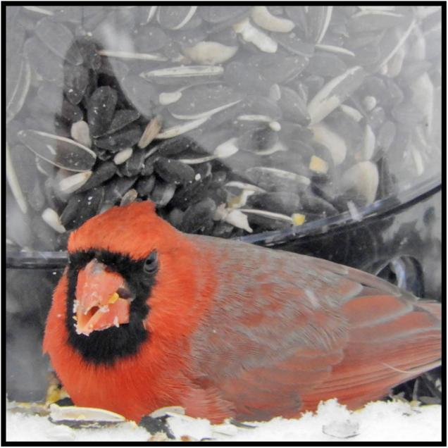 March 20: I suspect this is the male cardinal and partner of the female that has been frequenting our feeders. I'd worked myself into a snit about the unfairness of snow falling in Bloomington, Minn., on the first day of spring. But not so much now.
