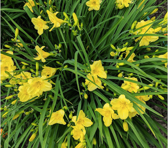 LILLIAN CROOK: WildDakotaWoman — Red Oak House Garden Notes No. 43: The Daylilies Enter The Stage With A Bang