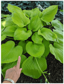 Sum and Substance hosta.