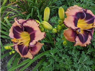 Rock Solid daylily.