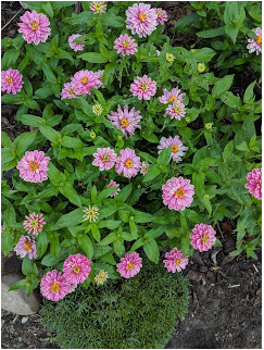 Zahara Double Raspberry zinnia.