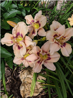 Huckleberry Candy daylily.