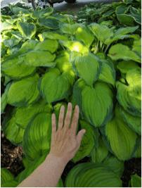 Old Glory Hosta; tiny plant in 2010.