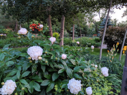 The peonies are huge this year!