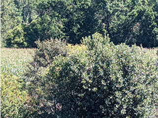 Buffaloberry bush near Cross Ranch State Park. There was a male Red-headed Woodpecker perched here, I swear, first I've seen in a while. They spend summers in North America in cottonwood forests and in North Dakota along the Missouri River watershed. I first saw these at Devils Tower National Monument along the Belle Fouche River many decades ago.