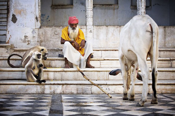 Indiai életkép: öregember, tehén, majmok