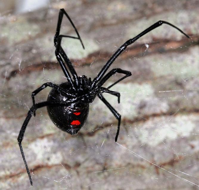 Fekete özvegy pók.