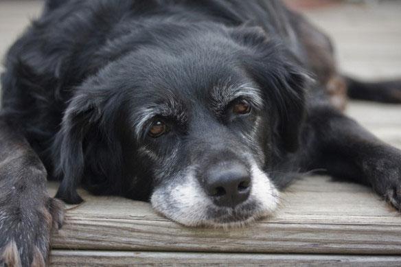 öregedő kutya.