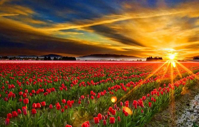 tulipánföld.