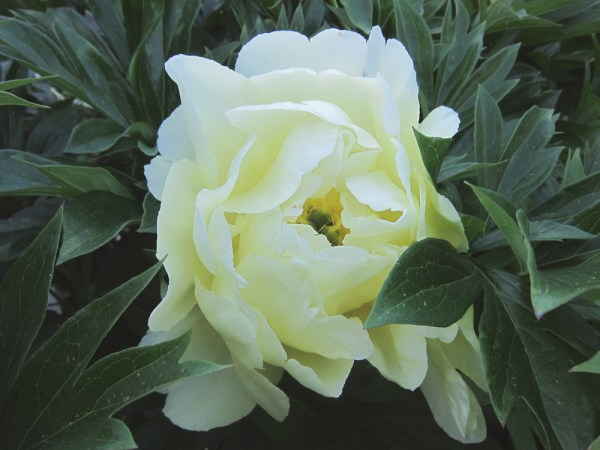 05creamflower