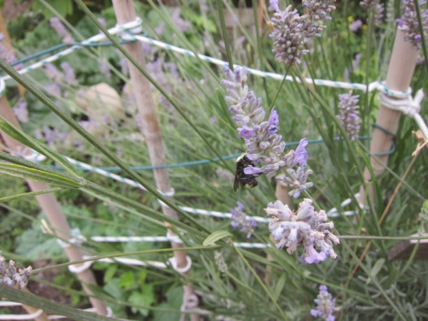03bee & lavender
