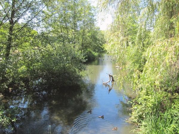 stream and ducks