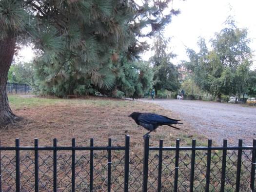 02 crow on fence