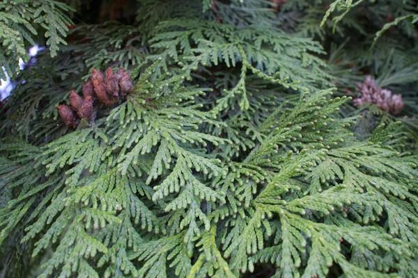 08 cedar branches