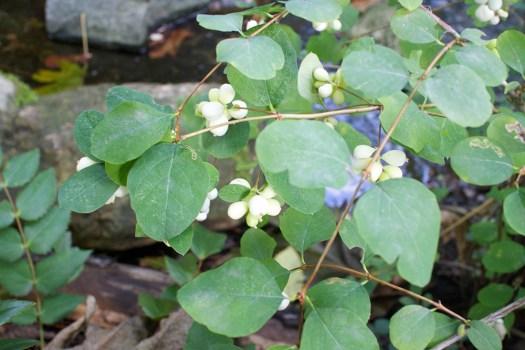 09 white berries