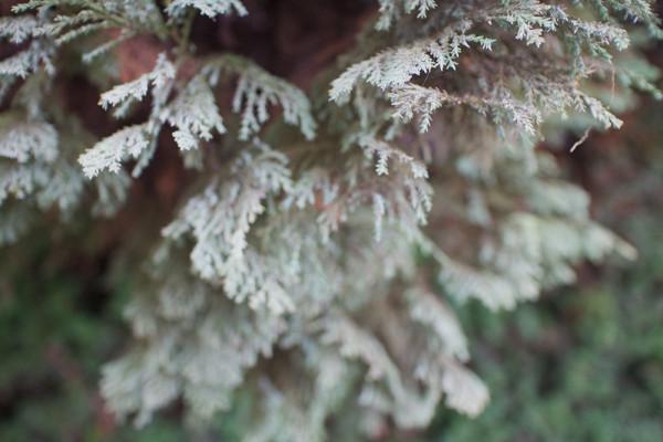 11 evergreen