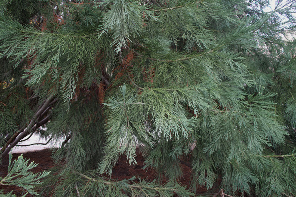 06 evergreen