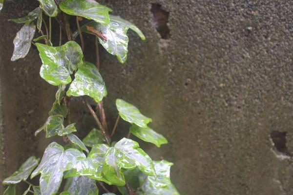 06 ivy