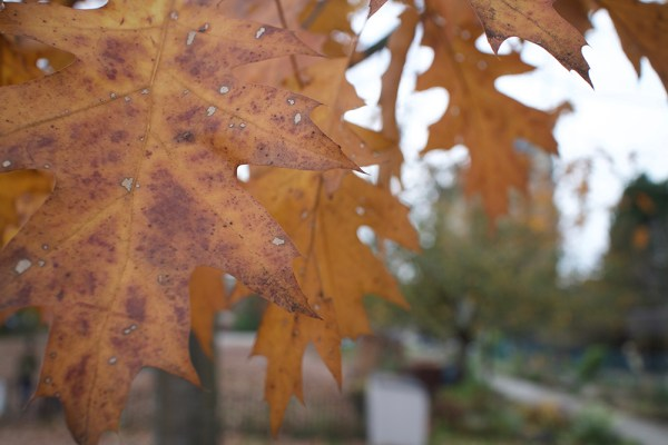 07-orange-oak-leaves
