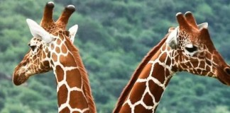 girafe rennes