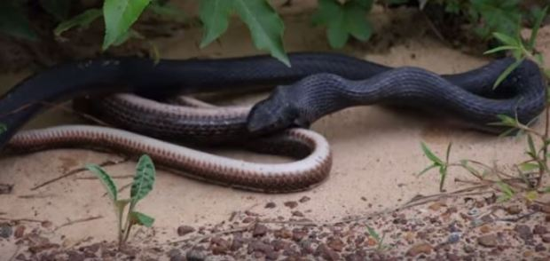 Snake Regurgitates Other Live Snake In Front Of Shocked Passerby Snake 4