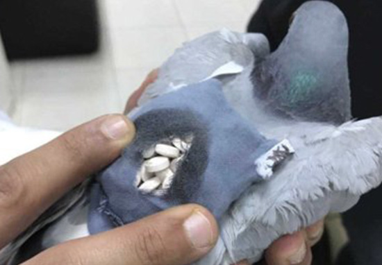 Pigeon Arrested For Its Role In Smuggling Ecstasy Pills pigeonweb