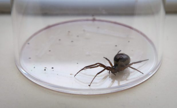 Most Dangerous Spiders In UK Set To Invade Our Homes PA 18129835 828x508