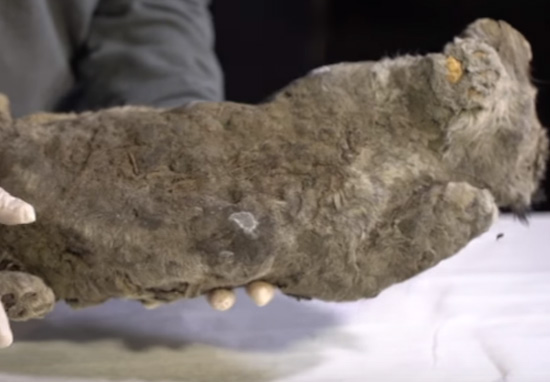 Scientists To Bring 50,000 Year Old Lion Back To Life lion cub a